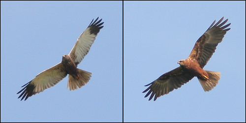 Marsh Harrier comparison
