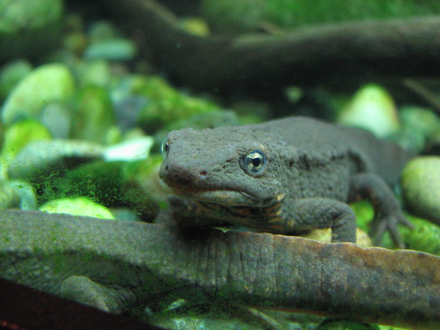 paddle tailed newt Flickr - Photo Sharing!