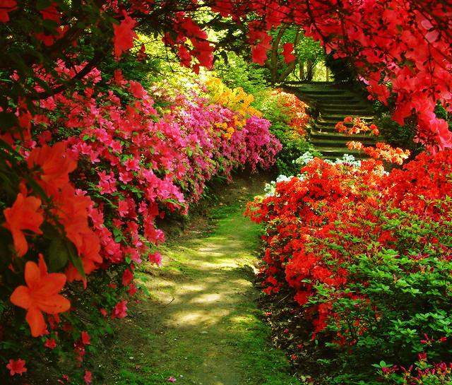 Azaleas at Valley Gardens