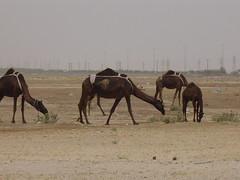 Camels 019