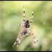 Spider at lunch - Araneus diadematus ©gemineo