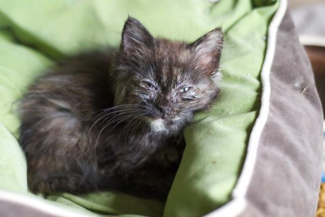 Kitten Eye Infection Home Remedy