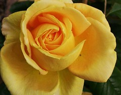 Rosen-roses - only