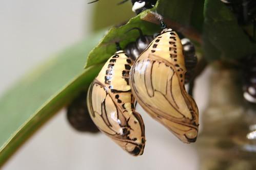 Vlinderhuis Misahuallí (Ecuador); cocons van vlinders by Geert en Sara