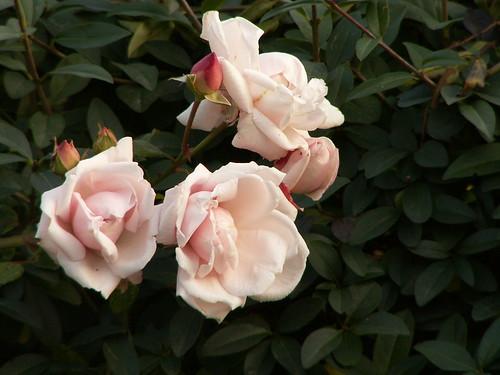 blühe Blume seit die Rose wird geküßt, die See so ruhig ist, nicht trübte bald weht der Wind 060