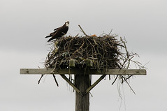 nest, animal, bird of prey, bird nest, fauna, bird, wildlife,