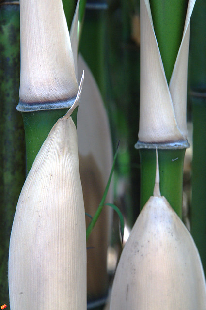 Semiarundinaria fastuosa leaf sheat