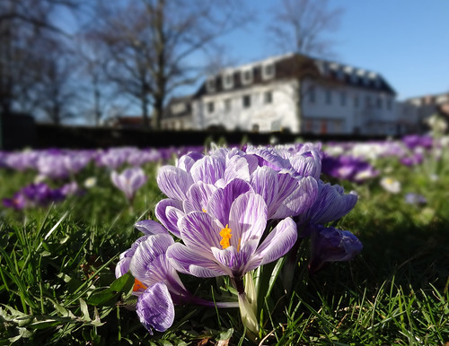 Flowering crocus. Spring has started here in the Netherlands.