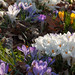 2014 Spring Flowers - Crocuses