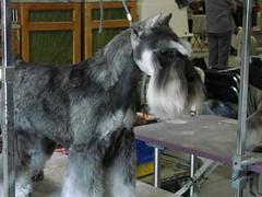 dog breed, animal, dog, pet, giant schnauzer, standard schnauzer, schnauzer, cesky terrier, miniature schnauzer, carnivoran, terrier,