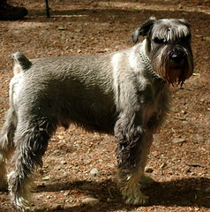 dog breed, animal, dog, pet, standard schnauzer, schnauzer, cesky terrier, miniature schnauzer, carnivoran, terrier,