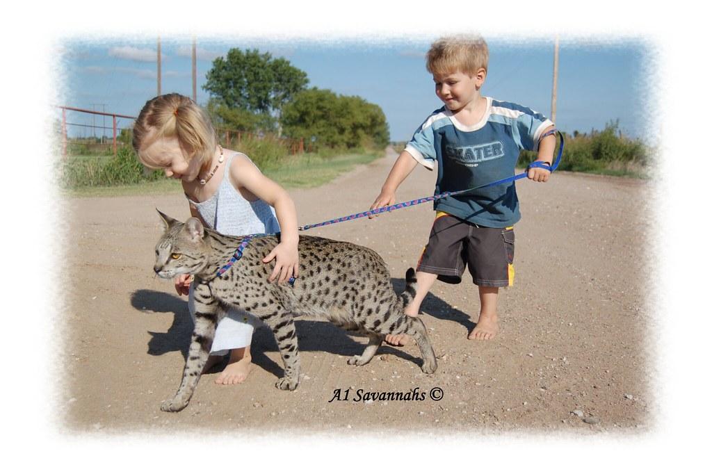 Walk a Savannah cat - a dog in cat's body