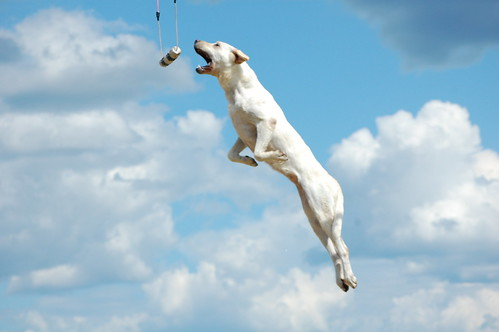 yellow Labrador, 'Savanna Jane' jumping for target