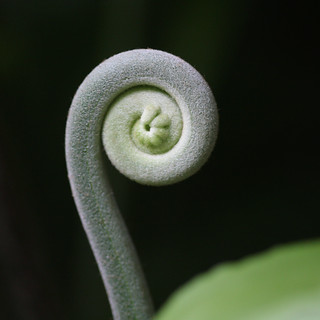 the unfolding of a fiddlehead, ii