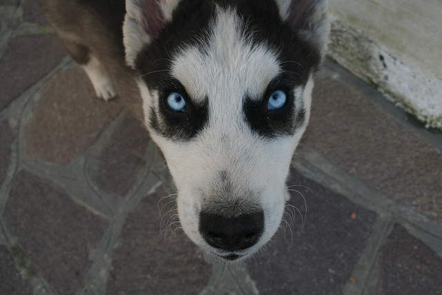 Angry husky | Flickr - Photo Sharing!