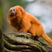 Golden Lion Tamarin - Photo (c) Jeroen Kransen, some rights reserved (CC BY-SA)