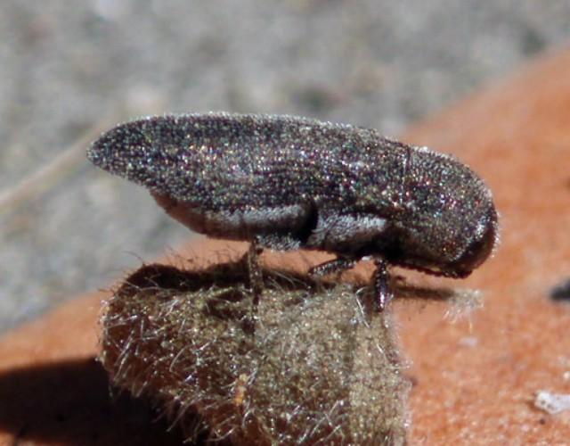 Acmaeoderella moroderi 3064784879_a16e5abf85_o