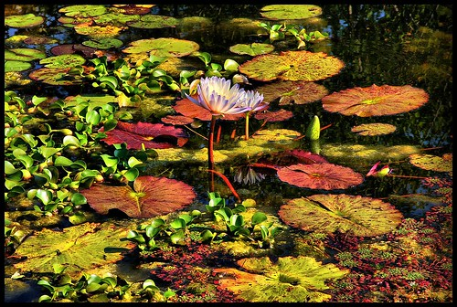 life plants painterly flower color green nature water reflections pond flora colorful waterlily bloom lush lilypads bold latesummer mortonarboretum lisleillinois platinumphoto dynamicphotopseudohdr somuchnicerthaniceandsnow usingajpgfile takeninlateseptember
