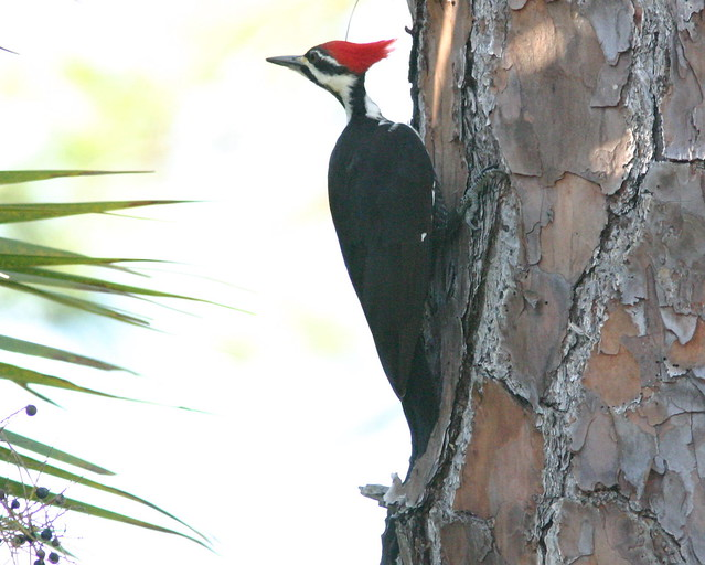 Pileated Woodpecker 3-2008_12_04