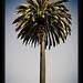 Santa Monica palm