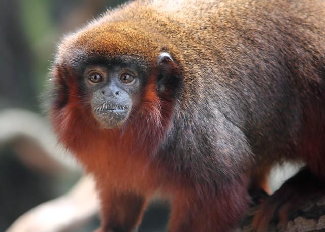 T2i 550d - Red Monkey