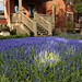 WHAT FLOWER IS GROWING ON THAT LAWN?  ANSWER= GRAPE HYACINTH, NO  LAWN.