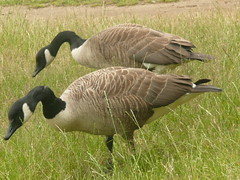 A Pair Of Canada Geese In Richmond Park London