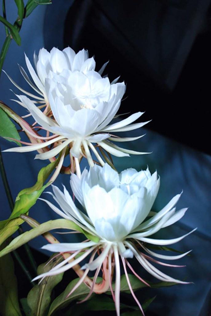 nishaghandhi flower