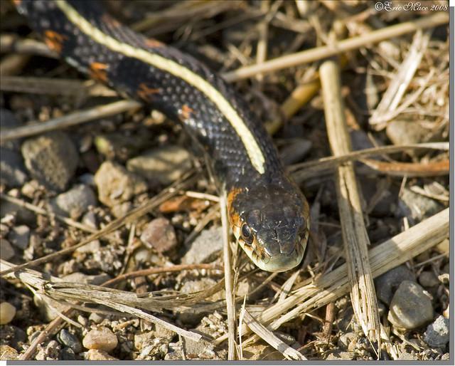 how to catch a garter snake