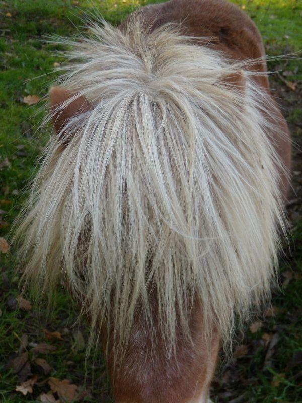 Shetland pony Cowden to Eridge