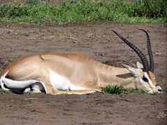 animal, antelope, gemsbok, mammal, horn, common eland, fauna, oryx, impala, safari, gazelle, wildlife,