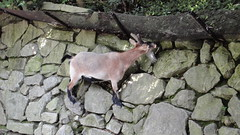 animal, deer, goats, fauna,