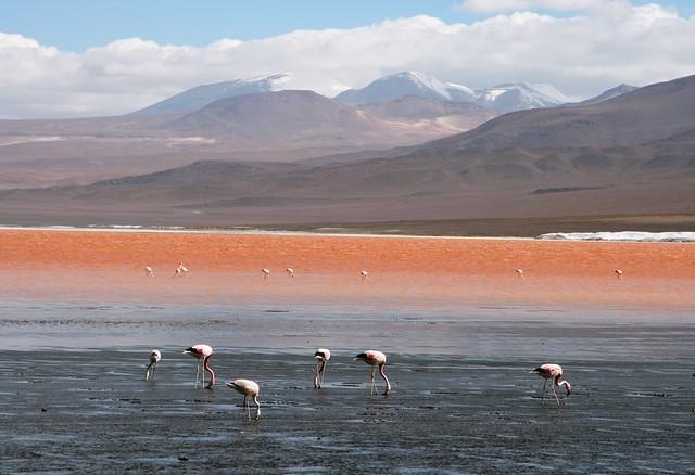Flamencos en la Laguna Colorada, Uyuni, Bolivia