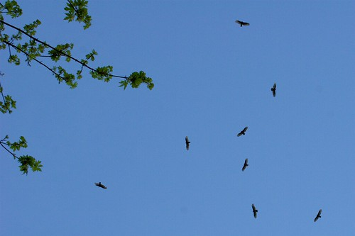 eight birds of prey soaring above our driveway    MG 2081