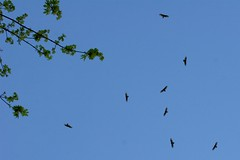 eight birds of prey soaring above our driveway    MG…