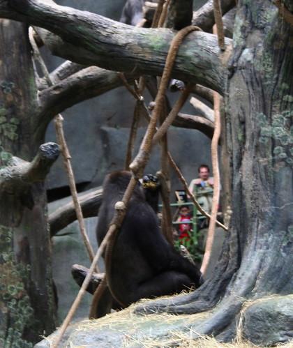 Funny gorilla, this gorilla is eating poop