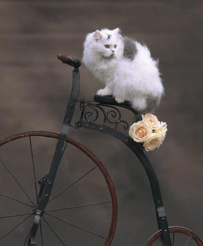 Cat on bike C1007 sm
