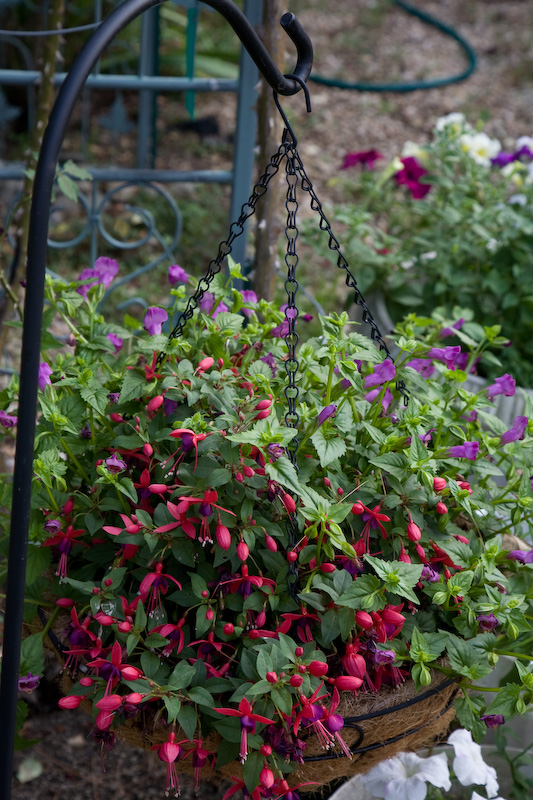 Flowers For Hanging Baskets That Attract Hummingbirds : Musings july