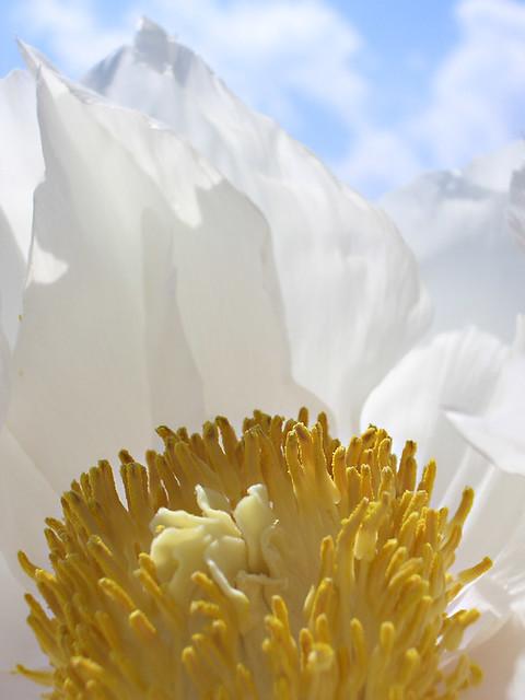 A petal tissue