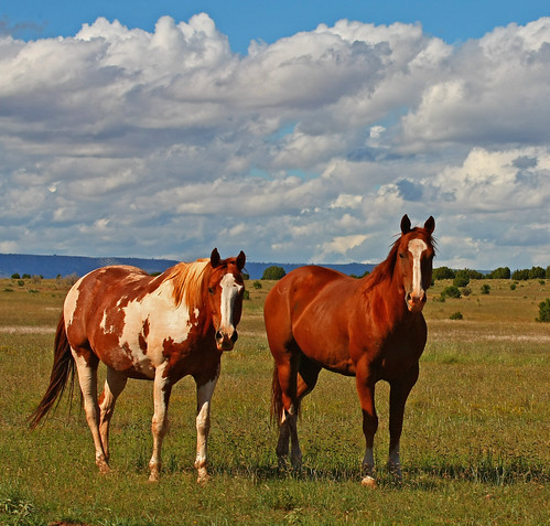 Hawk and Wrangler - Ranch Horses