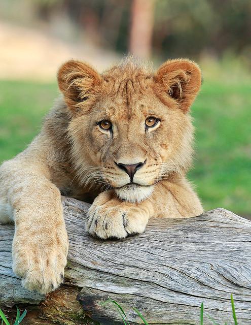 Lion Cub_F9P2344