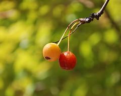 Bokeh berries (HBW)