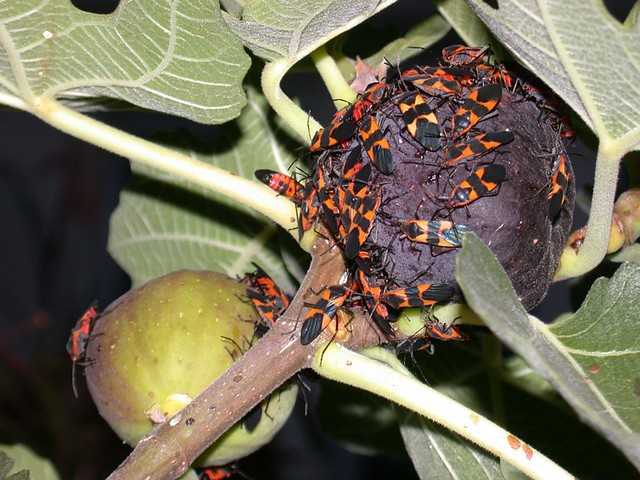 Buggy figs 2