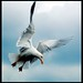 Herring Gull by Levels Nature