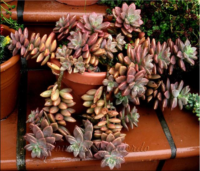 suculentas en venta  graptosedum bronze