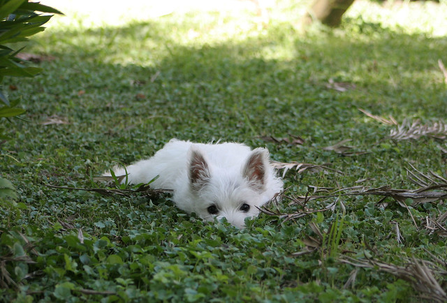 Cute West Highland White Terrier Puppy Funny