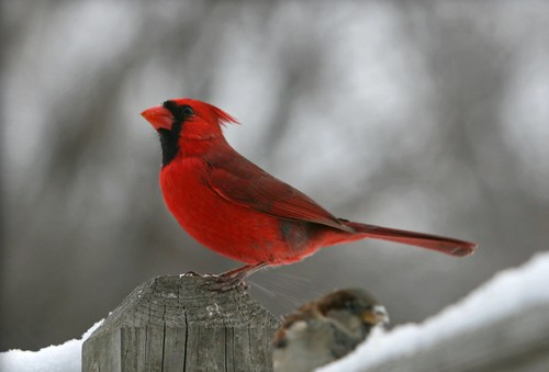 Cardinal looking majestic