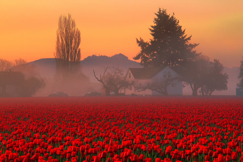 Skaget Valley Tulip Fields Foggy Farmhouse, Washington State