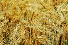emmer, hordeum, agriculture, triticale, einkorn wheat, rye, food grain, field, barley, wheat, plant, crop, cereal,
