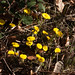 Gelber Frühlingsgruss